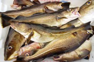 Употребление рыбы при атеросклерозе