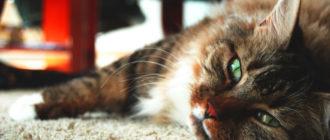 Гастроентерит у кошек