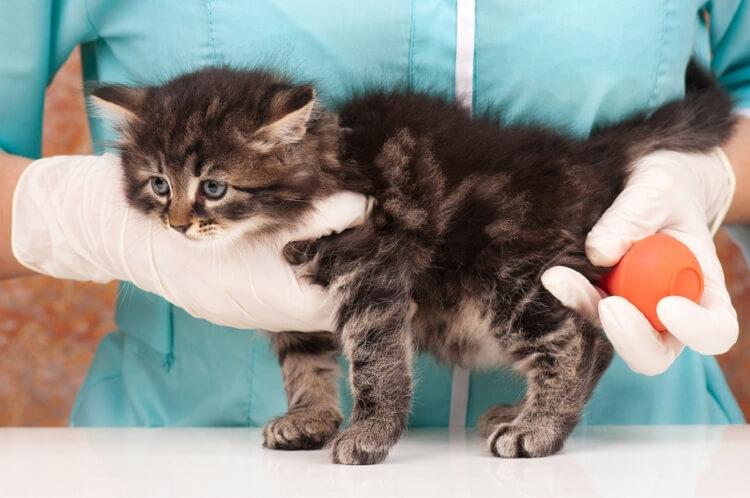 Как правильно ставить клизму кошке