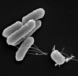 Сальмонеллы в организме человека