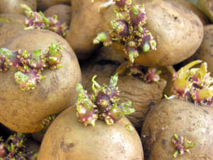 Проросший картофель причина отравления