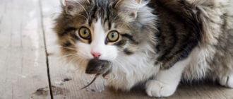 Что делать при отравлении кота мышью