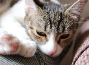 Вялость у кошки при отравлении