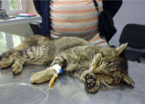 Капельница для кошки при отравлении