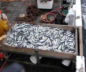 Шаги приготовления консервов из рыбы