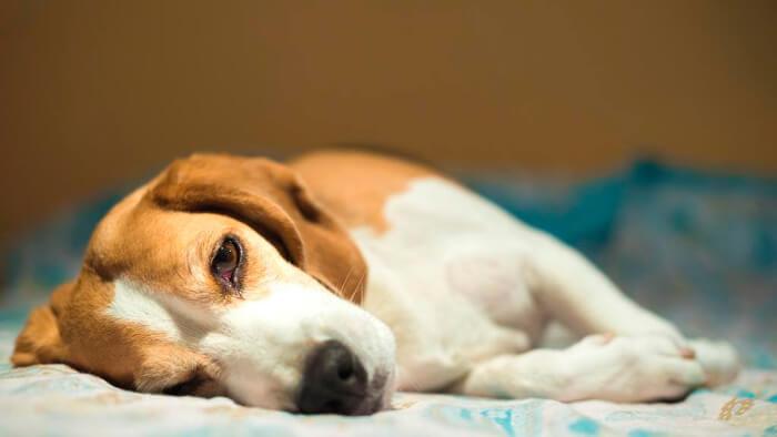 Понос с пеной у собаки