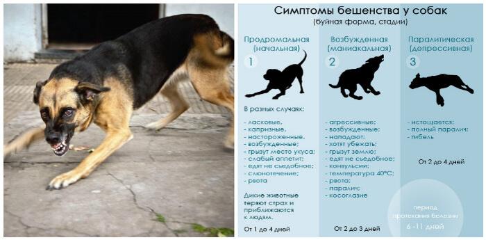 Памятка симптомов бешенства у собаки