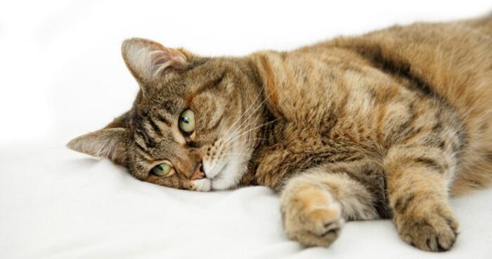 Рвота и понос у кошек