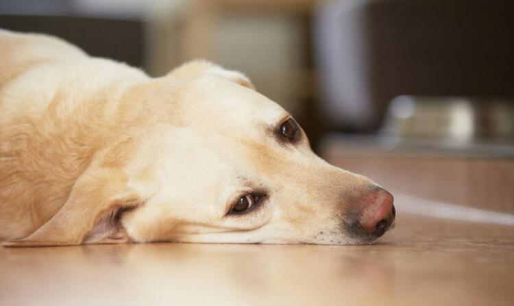 Лекарства для собак рвота thumbnail