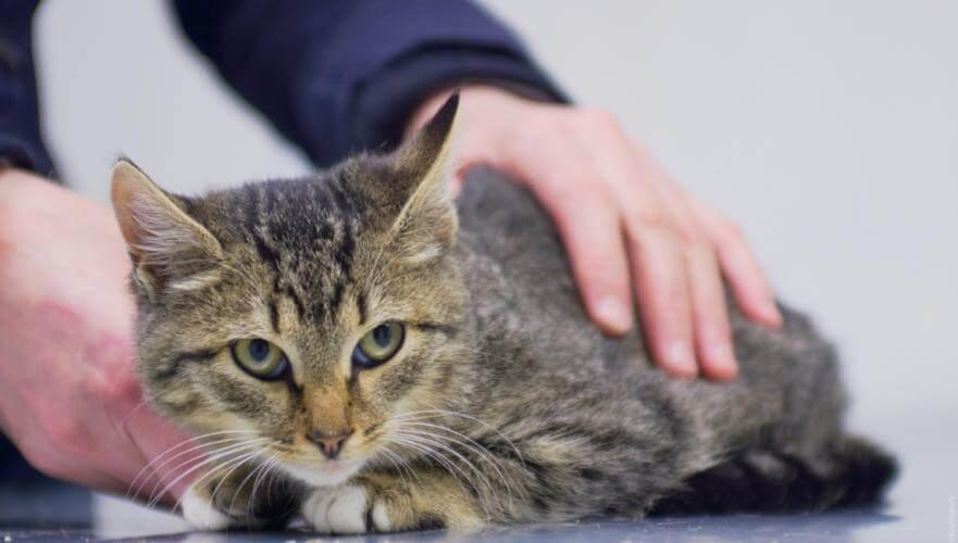 Сальмонеллез у кошек симптомы и лечение