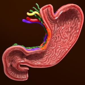 Действие Смекты в желудке и кишечнике