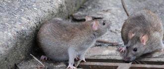 Причины укуса крысы