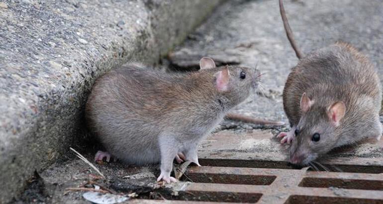 Что делать если укусила крыса? Последствия укусов крыс и что нужно делать, если вас покусали