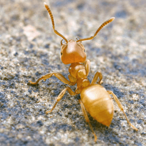 Желтый муравей фото