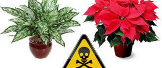 Как обезопасить себя от ядовитых комнатных растений